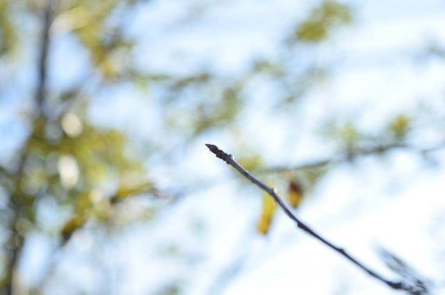 .庭のどの木よりもはやく葉を落としたヤマザクラ。その枝先に微かな膨らむ蕾を発見しました。・ふわりと冬の気配が忍び寄るなか見つけた小さな小さな春。・・#庭 #ヤマザクラ #山桜 #日々 #暮らし #日常 #季節を愛でる  from Instagram